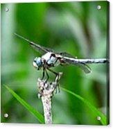 Dragonfly 15 Acrylic Print