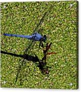 Dragonfly 73 Acrylic Print