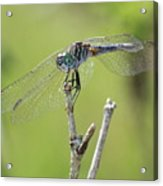 Dragonfly Against Green Backdrop Acrylic Print