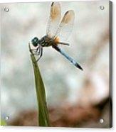 Dragonfly At Cypress Gardens Acrylic Print