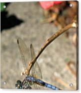 Dragonfly Black-tailed Skimmer Acrylic Print