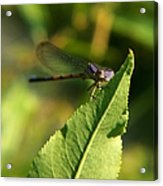 Dragonfly Called Funny Face Acrylic Print