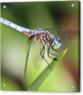 Dragonfly Captures Tiny Cockroach Acrylic Print
