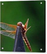 Dragonfly Cling Acrylic Print