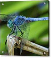 Dragonfly Color Acrylic Print