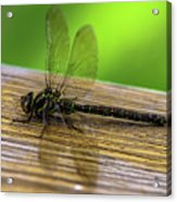 Dragonfly Colors Acrylic Print