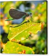 Dragonfly Dragonfly  Acrylic Print