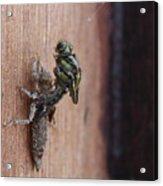 Dragonfly Ecdysis Acrylic Print