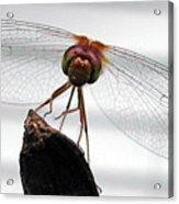 Dragonfly Face Acrylic Print
