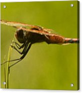 Dragonfly Holding On Tight Acrylic Print