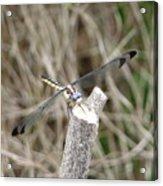 Dragonfly I Acrylic Print