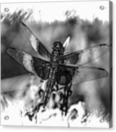 Dragonfly In Black And White Acrylic Print