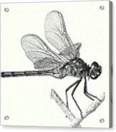 Dragonfly In Monotone Acrylic Print