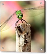 Dragonfly In The Petunias Acrylic Print