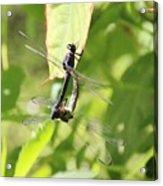 Dragonfly Love Acrylic Print