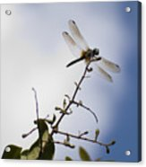 Dragonfly On A Limb Acrylic Print