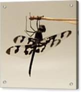 Dragonfly On A Pine Needle Acrylic Print