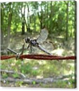 Dragonfly On Barbed Wire Acrylic Print