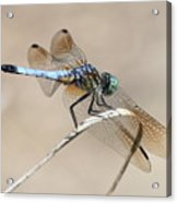 Dragonfly On Bent Reed Acrylic Print