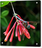 Dragonfly On Honeysuckle Acrylic Print