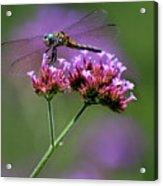 Dragonfly On Purple Verbena Acrylic Print