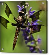 Dragonfly On Salvia Acrylic Print