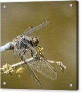 Dragonfly On The Spot Acrylic Print