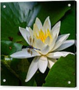 Dragonfly On Waterlily  Acrylic Print