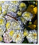 Dragonfly On White Mums Acrylic Print