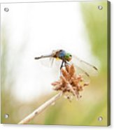 Dragonfly Perch Acrylic Print