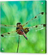 Dragonfly Rear Approach Acrylic Print