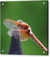 Dragonfly Red Acrylic Print