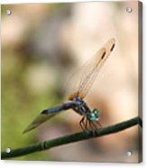 Dragonfly Ref.13 Acrylic Print