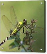 Dragonfly Rest Acrylic Print