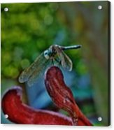 Dragonfly Resting Acrylic Print