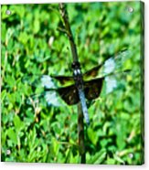 Dragonfly Resting On Stem Acrylic Print