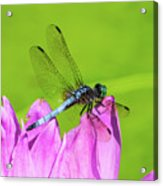 Dragonfly Resting Acrylic Print
