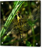 Dragonfly Venation Revealed Acrylic Print