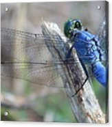 Dragonfly Wing Detail Acrylic Print