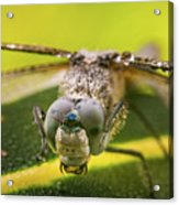Dragonfly Wiping Its Eyes Acrylic Print
