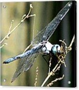 Dragonfly With Yellowjacket 1 Acrylic Print