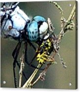 Dragonfly With Yellowjacket 5 Acrylic Print