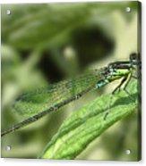 Dragonfly1 Acrylic Print