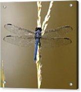 Dragonfly2 Acrylic Print