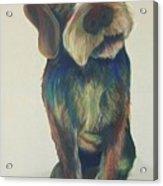 Drahthaar Amadeus Acrylic Print