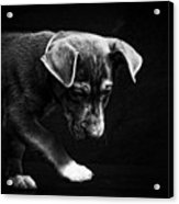 Dramatic Black And White Puppy Dog Acrylic Print