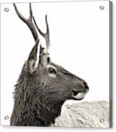 Dramatic Deer Acrylic Print