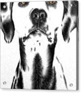 Drawing Of A Dalmatian Dog Acrylic Print