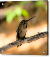 Dream Hummingbird Acrylic Print