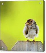 Dream Sparrow Acrylic Print